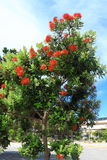 Pohutukawa Tree Blooming Royalty Free Stock Images