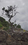 Pohutukawa tree. Clinging to Phillip Island, Tutukaka Harbour Stock Photo