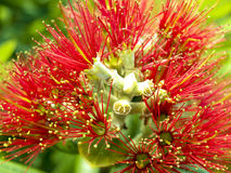 Pohutukawa tree flower Stock Photos