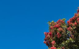 Pohutukawa Tree. Flowering with a blue sky background Stock Photo