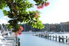 Pohutukawa tree and flowers at Doves Bay Marina, Kerikeri, New Z royalty free stock images