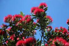 Pohutukawa Tree flowers Stock Photo
