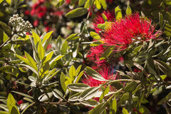 Pohutukawa tree flowers and leaves Royalty Free Stock Photo