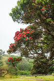 Pohutukawa. Tree with flowers in New Zealand Royalty Free Stock Photo