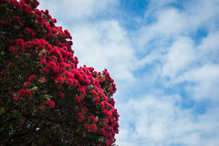 Pohutukawa. Tree with flowers in New Zealand stock photo
