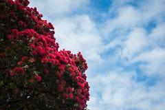 Pohutukawa. Tree with flowers in New Zealand Stock Photo