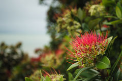 Pohutukawa. Tree with flowers in New Zealand stock photography