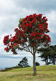 Pohutukawa Tree Royalty Free Stock Images