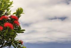 Pohutukawa tree, partly cloudy sky. New Zealand Royalty Free Stock Images