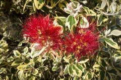 Pohutukawa tree red blossom Royalty Free Stock Images