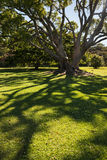 Pohutukawa tree shadow Royalty Free Stock Images