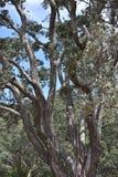 Pohutukawa tree trunk. Royalty Free Stock Images