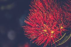 Pohutukawa vermelho floresce o excelsa de Metrosideros Foto de Stock