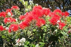 Pohutukawa w kwiatu Nowa Zelandia choince Zdjęcia Royalty Free