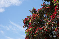 Pohutukawa-Weihnachtsbaum Stockfoto
