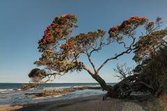 Pohutukawaboom het groeien boven strand in Nieuw Zeeland Stock Foto