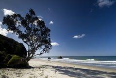 Pohutukawaboom op het strand van het het Noordeneiland, Nieuw Zeeland. Royalty-vrije Stock Afbeeldingen