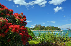 Pohutukawas na flor completa na praia de Kaiteriteri, Nova Zelândia Imagem de Stock Royalty Free