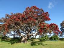 Pohutukawawa树 库存图片