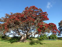 Pohutukawawa tree. The pohutukawa is known as New Zealand Christmas tree. It is a coastal evergreen tree in the myrtle family, Myrtaceae, that produces a Stock Image
