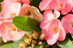 POI Si-ngan fleurit, les fleurs roses de POI Si-ngan dans le jardin Photos libres de droits