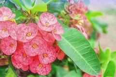 Poi Sian bloemen stock afbeeldingen