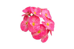 Poi sian flowers, Red Christ Thorn flower or euphorbia milii flo Royalty Free Stock Photo