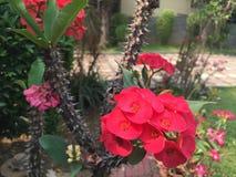 Poi sian flowers Royalty Free Stock Photo