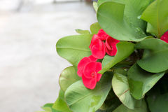 Poi Sian flowers Royalty Free Stock Photo