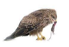 Poiana comune che mangia un topo Fotografia Stock