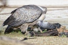 Poiana dell'avvoltoio mentre mangiando un animale morto Fotografie Stock