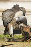Poiana dell'avvoltoio mentre mangiando un animale morto Fotografie Stock Libere da Diritti
