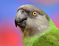 Poicephalus Senegalus Senegal papegoja Arkivbilder