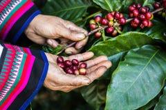Poignée de grains de café organiques frais Image libre de droits