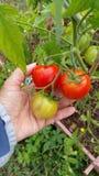 Poignée de tomates Image stock