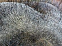 Poils sur la tête d'éléphant image stock