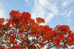 Poinciana树 免版税图库摄影