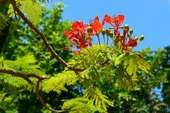 Poinciana结构树 免版税图库摄影