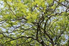 Poinciana结构树 库存照片