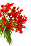 poinciana Obrazy Stock