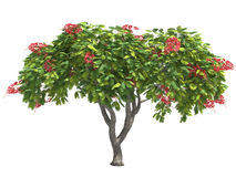 Poinciana. Stock Photo