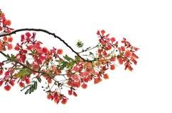 槭叶瓶木或皇家Poinciana树 免版税库存图片