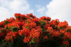Poinciana Baum Stockfotos