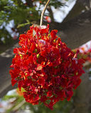 Poinciana blomningar Fotografering för Bildbyråer