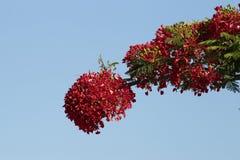 Poinciana blomningar Royaltyfri Bild