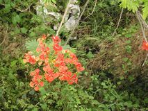 Poinciana Blumen Stockbild