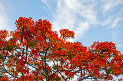 Poinciana drzewo Fotografia Royalty Free