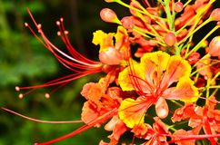 Poinciana Flower Royalty Free Stock Photo