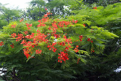Poinciana flower Royalty Free Stock Images