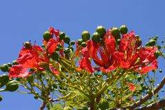 Poinciana Flowers Stock Photo